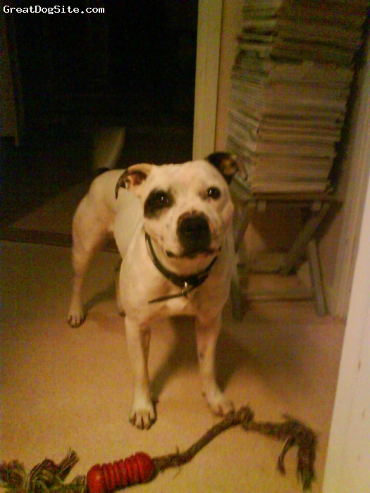 Irish Staffordshire Bull Terrier, 6, white, =)